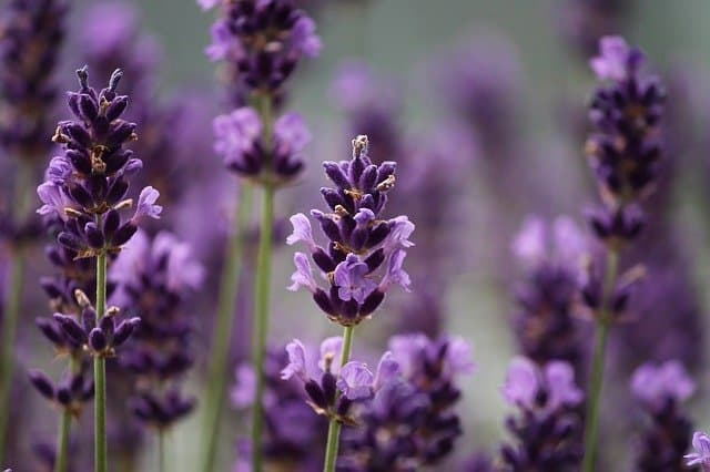 Best Lavender To Grow In Aquaponics