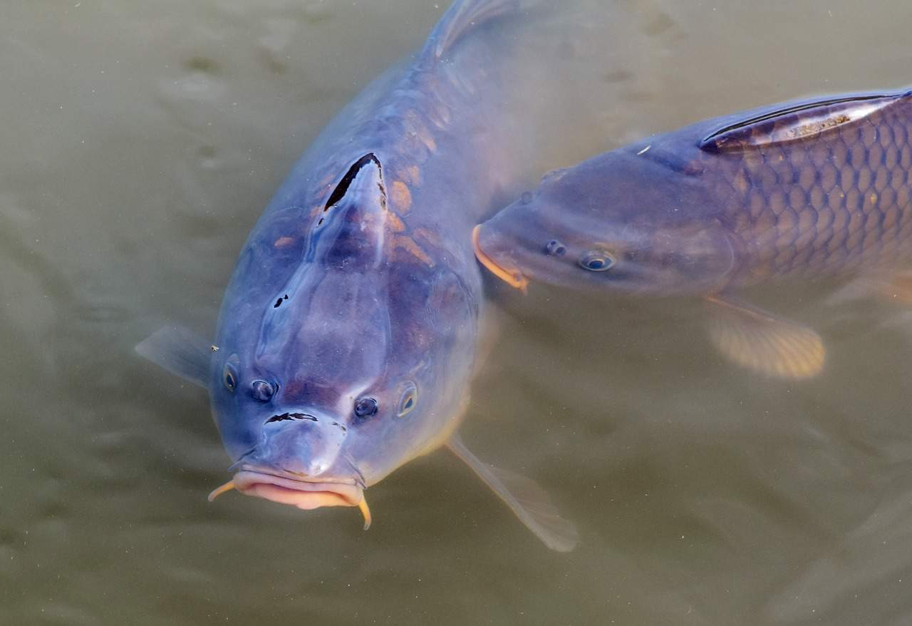 Caring for carp in aquaponics systems