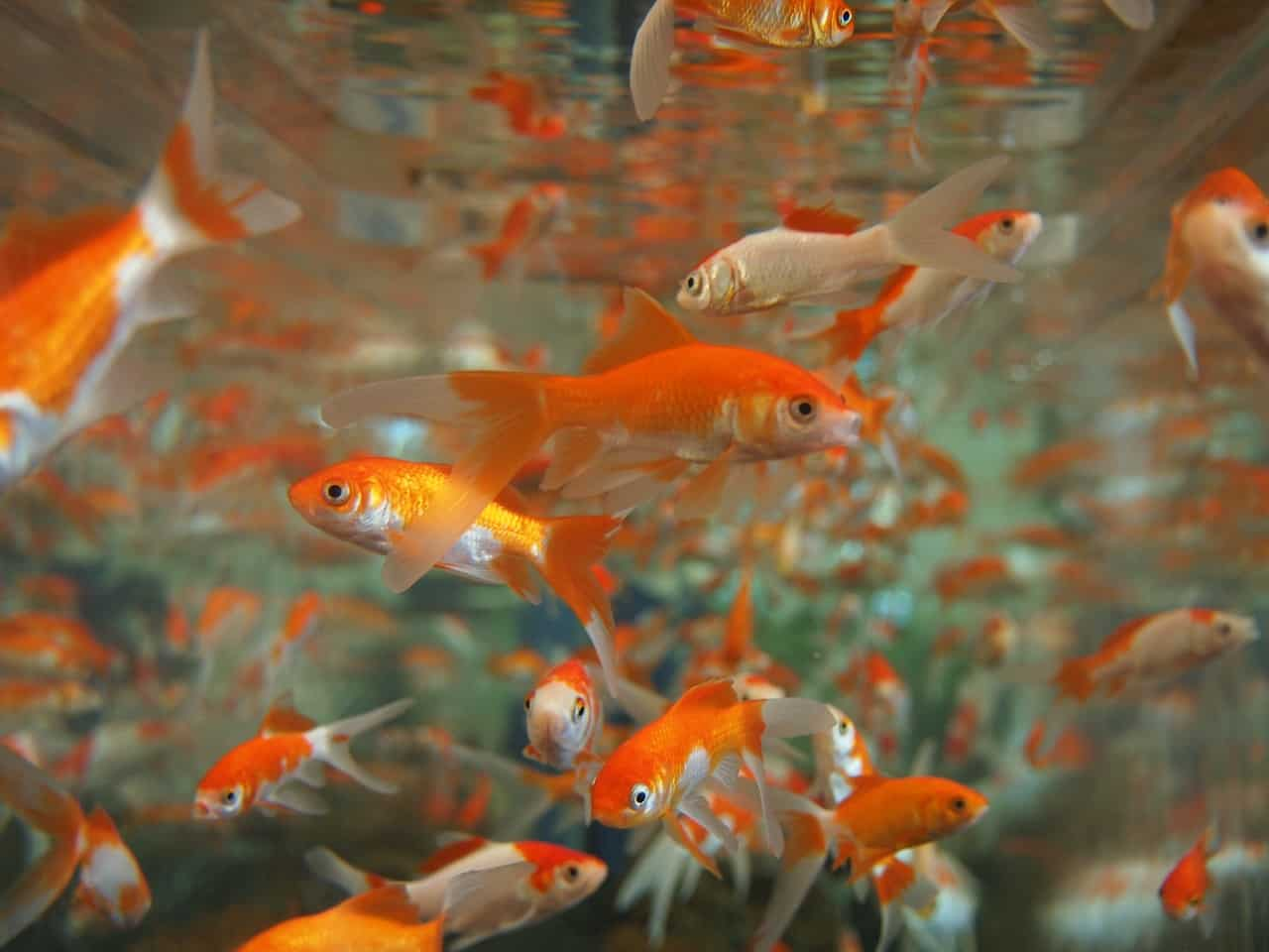 Caring for goldfish in aquaponics systems