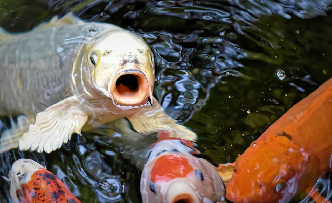 Caring for koi in aquaponics systems