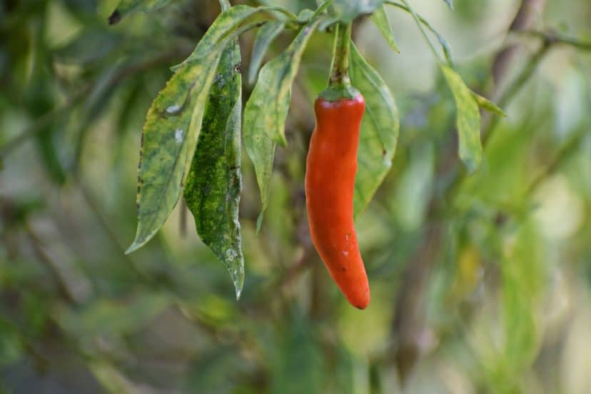 Grow Chili Pepper In Aquaponics Gardens