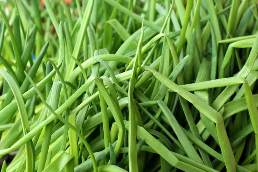 Growing Chives In Aquaponics Gardens
