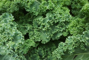 Growing Kale In Aquaponics