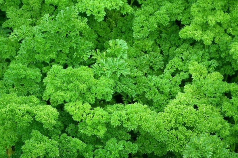 Growing Parsley In Aquaponics Gardens