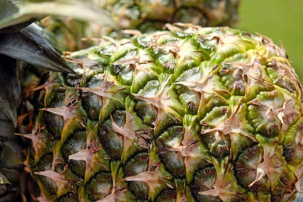 Growing pineapples in aquaponics