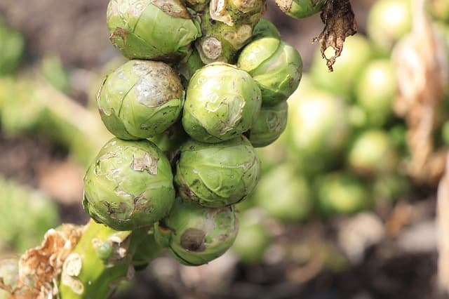 Health Benefits of Growing Brussel Sprouts in Aquaponics