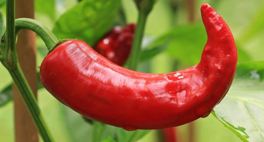Water Temperature For Chili Peppers