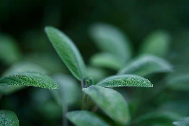 Why Grow Sage in your Aquaponics Garden