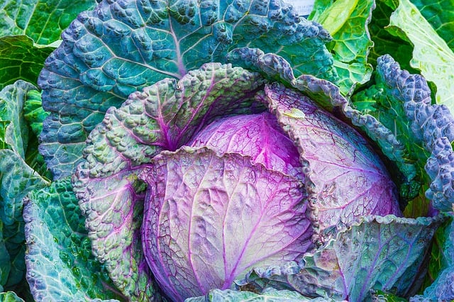 Choosing the Right Variety of Cabbage For Your Aquaponics Garden