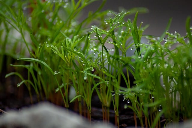 Cultivating Dill in your Aquaponics Garden
