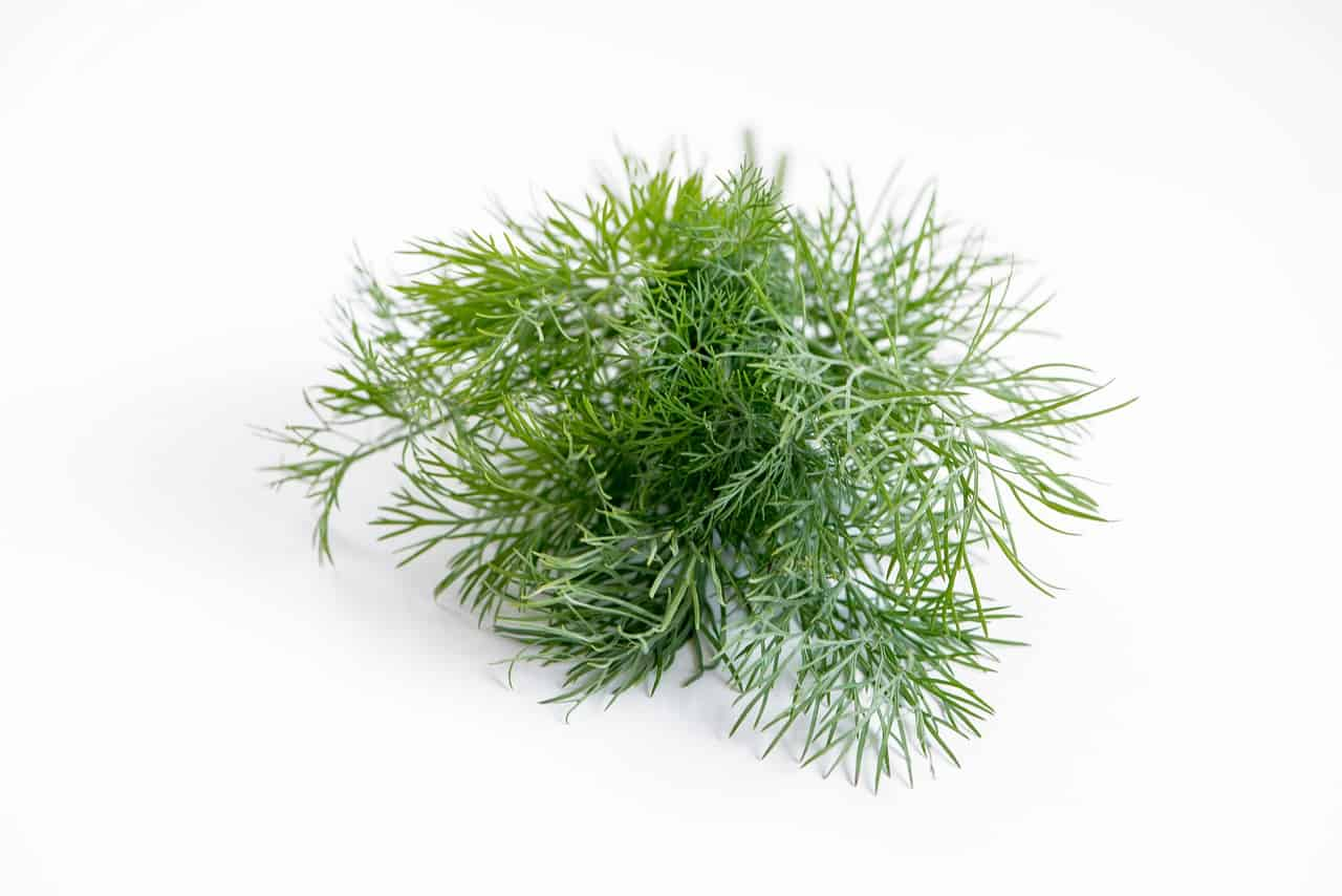 Growing Dill in aquaponics gardens