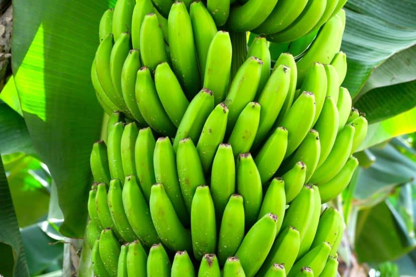 Growing Bananas In Aquaponics Gardens