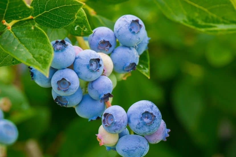 Growing Blueberries In Aquaponics Gardens