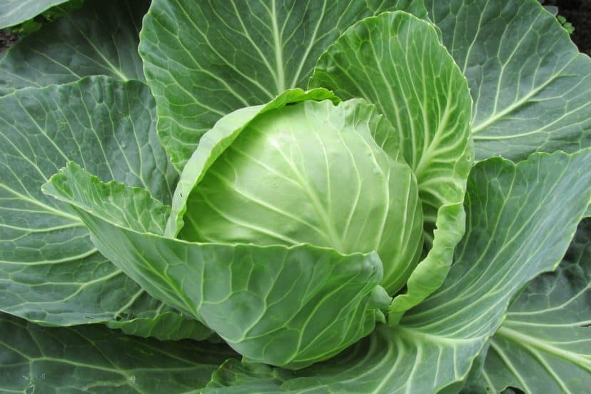 Growing Cabbage In Aquaponics Gardens