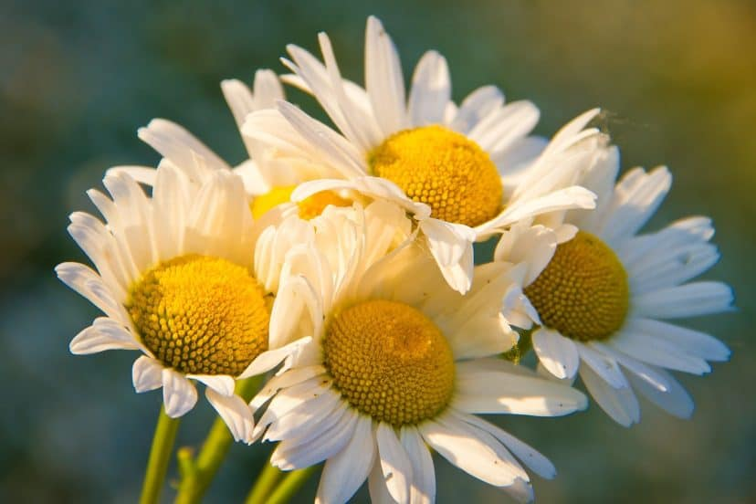 Growing Chamomile In Aquaponics Gardens