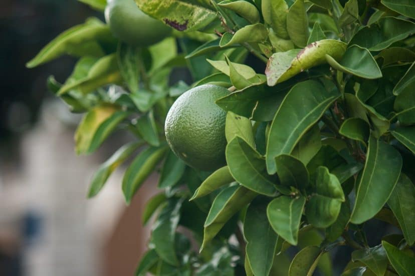 Growing Limes In Aquaponics Gardens