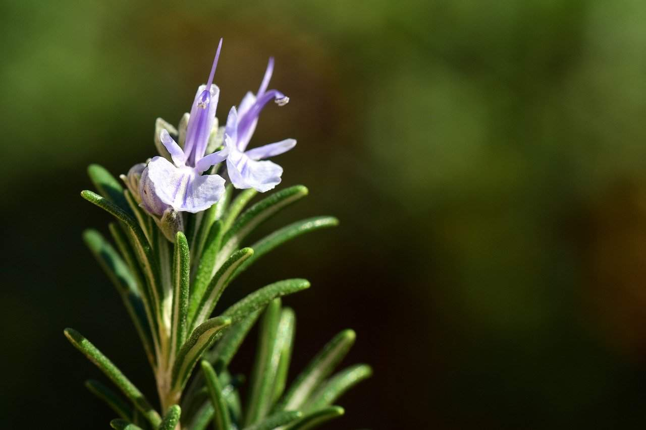 Growing rosemary in aquaponics gardens