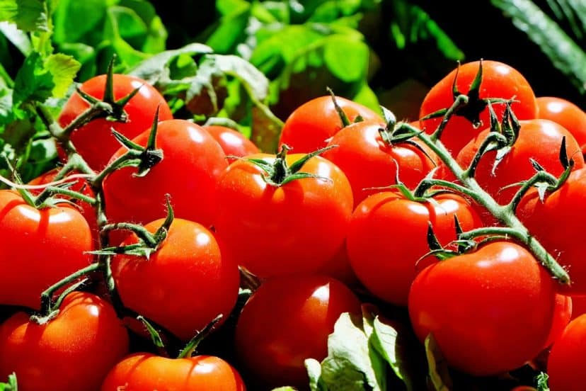 Growing Tomatoes In Aquaponics Gardens