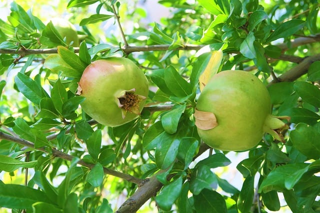 Growing Pomegranates in Aquaponics Gardens and Variety