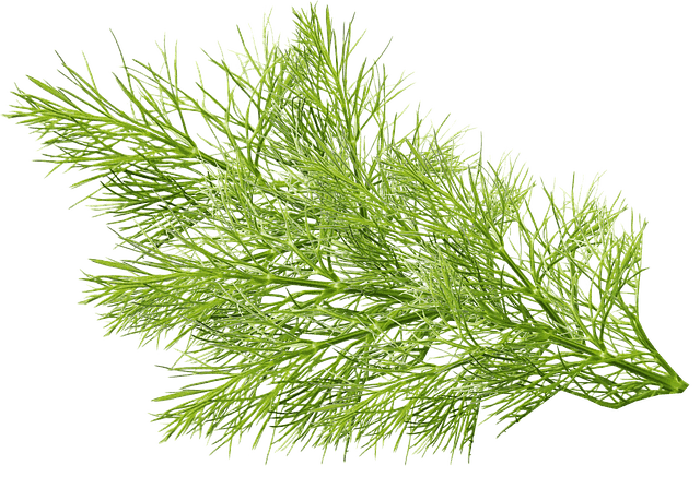 The Flavorful Fennel in aquaponics