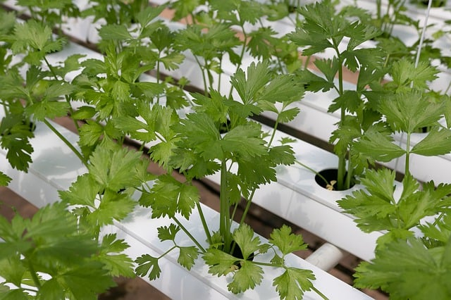 Why Grow Coriander in your Aquaponics Garden?