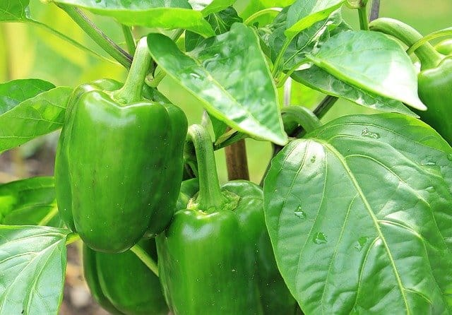 Why grow peppers in aquaponic gardens