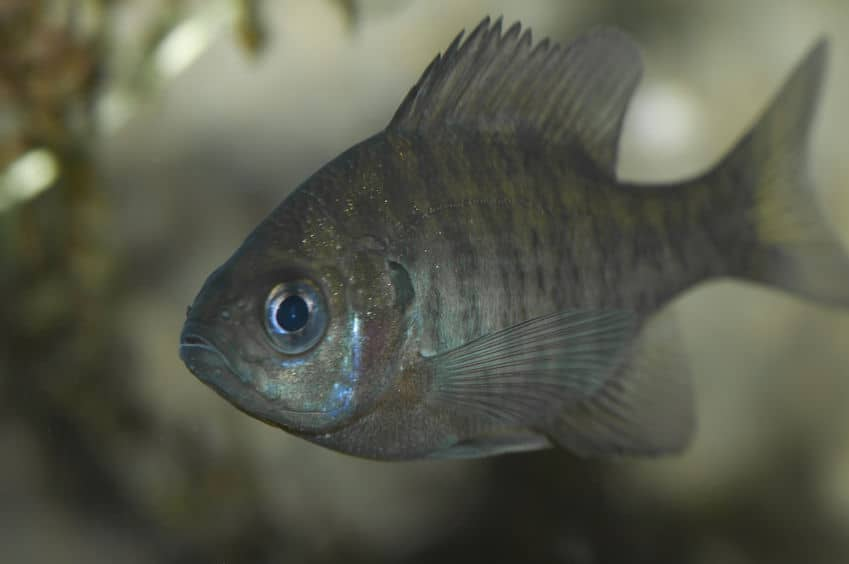 Caring for bluegill in aquaponics systems