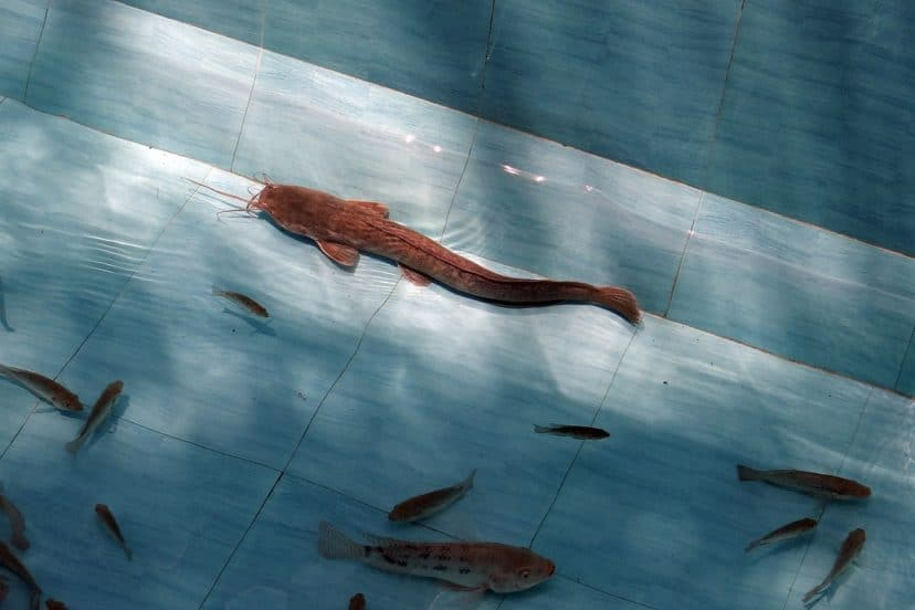 Caring For Catfish In Aquaponics Systems