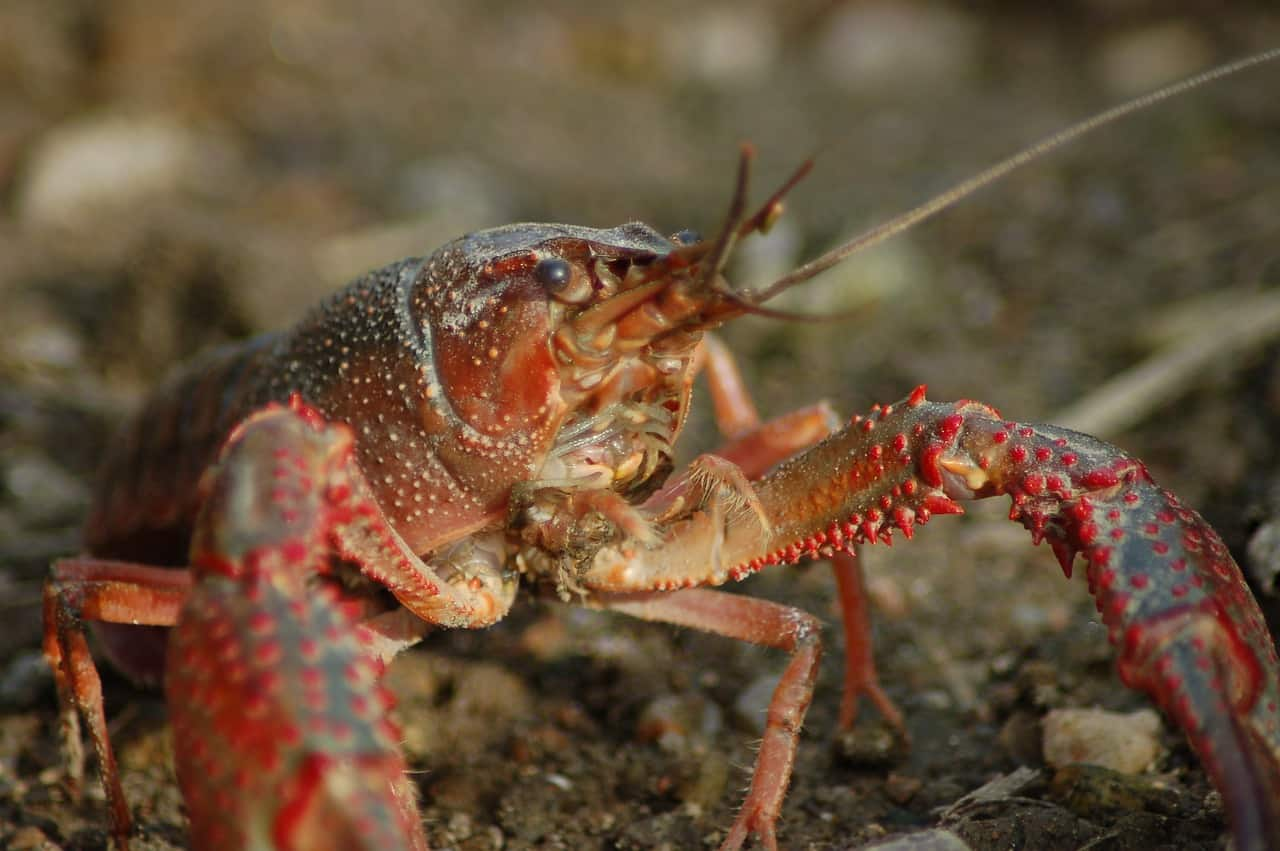 Caring for crayfish in aquaponics systems