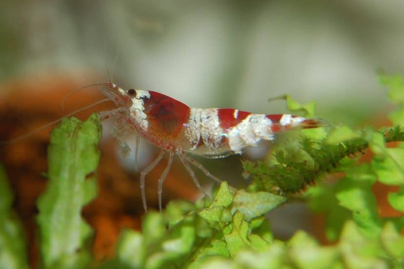 Caring For Shrimp And Prawns In Aquaponics Systems