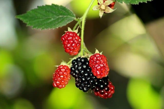 Growing Requirements for Aquaponic Blackberries
