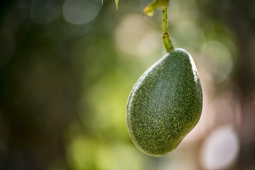Growing Avocados In Aquaponics Gardens