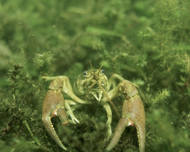 Requirements for Caring for Crayfish in Aquaponics Systems