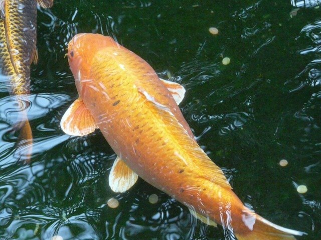 Requirements for Caring for Goldfish in Aquaponics Systems