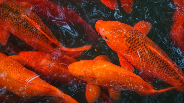 Requirements for Caring for Koi in Aquaponics Systems