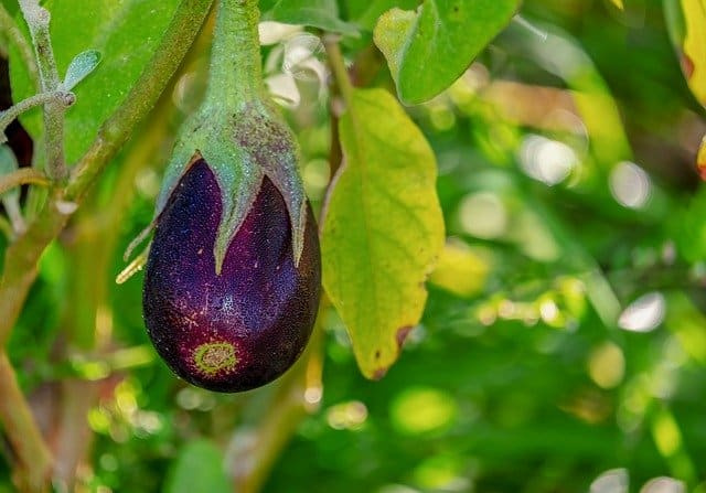 Cultivating Eggplant in Your Aquaponics Garden