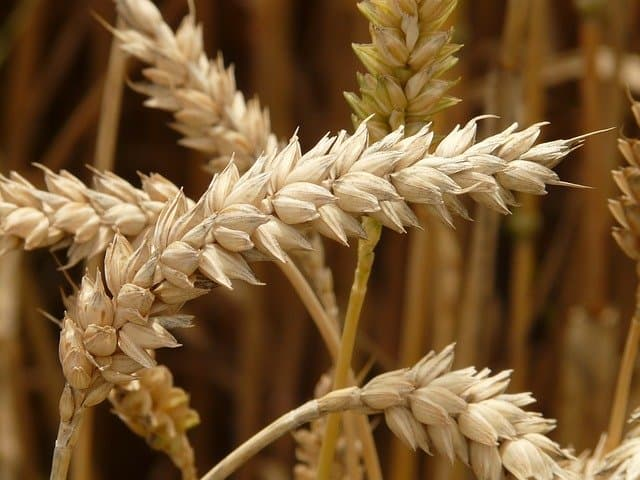 Cultivating Wheat in Your Aquaponics Garden
