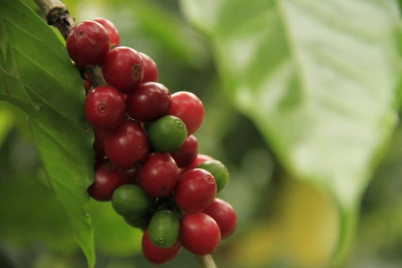 Growing Coffee In Aquaponics Gardens