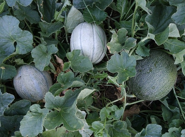 Why Grow Cantaloupe in your Aquaponics Garden