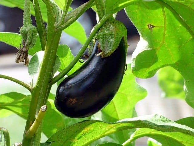 Why Grow Eggplant in Your Aquaponics Garden