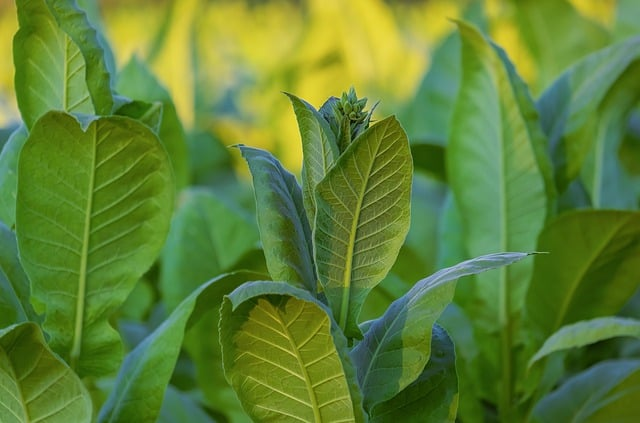 Why Grow Tobacco in Your Aquaponics Garden