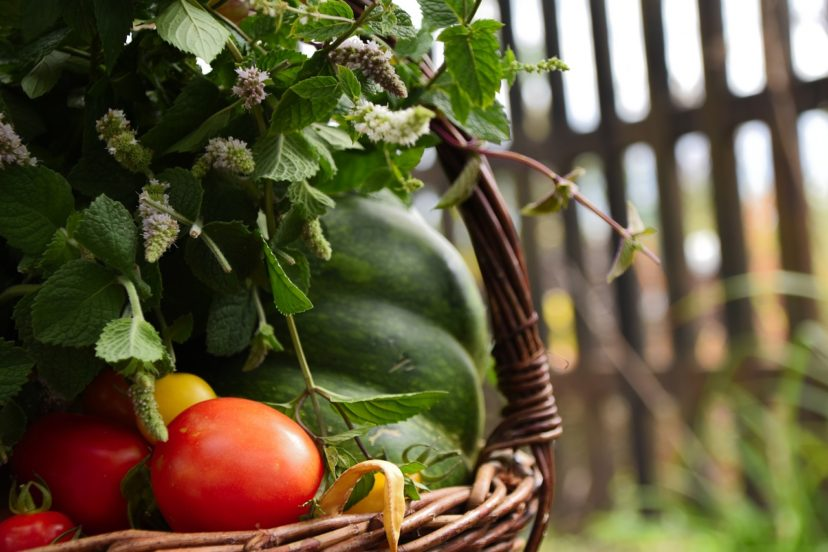 Best Tomato Varieties For Aquaponics