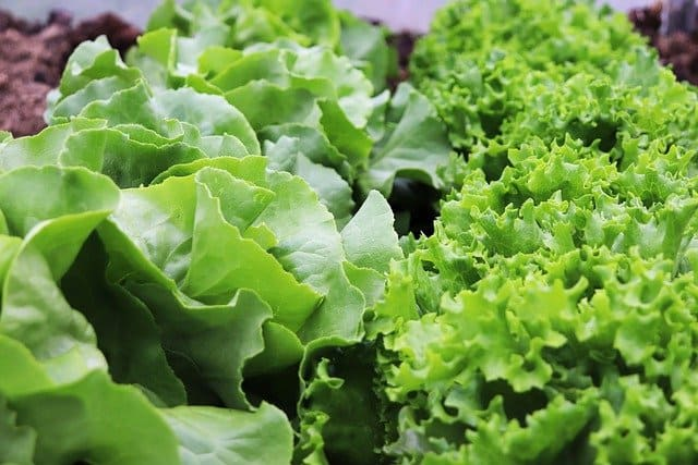 Choosing The Right Type of Lettuce For Aquaponics