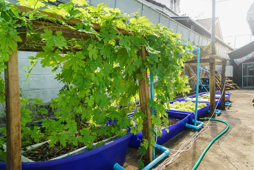 Factors Affecting Plant Growth in an Aquaponic System