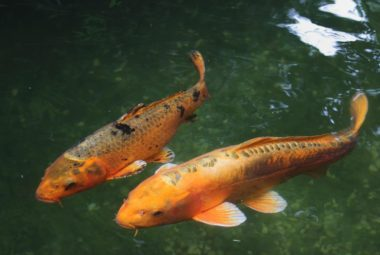 Can Tilapia Live With Koi?
