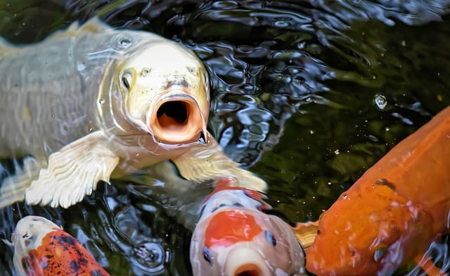 Caring For Tilapia And Koi