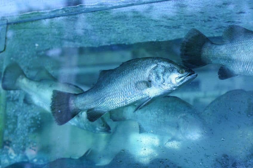 Largemouth Bass in aquaponics