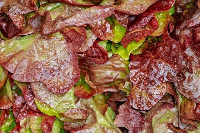 Lettuce is a best seed for aquaponics