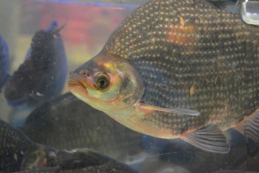 Can Tilapia Live In Saltwater?