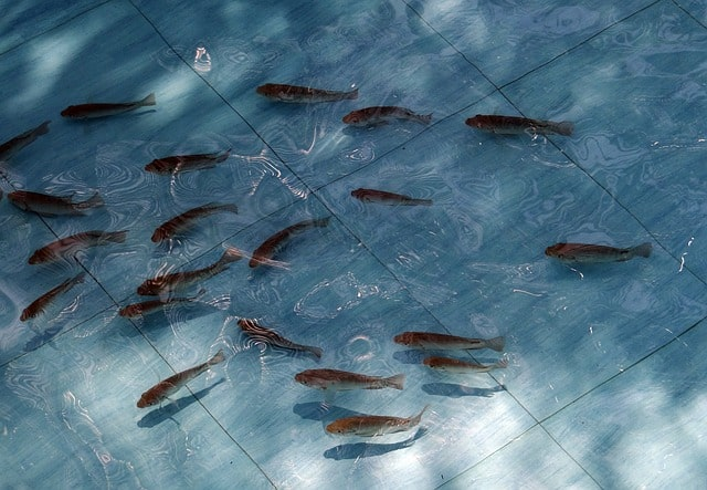 Why Breed Tilapia